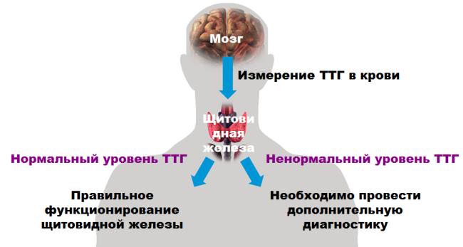 тиреотропный гормон ТТГ сдать анализ в оренбурге